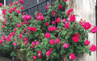 How Difficult It Is to Care for Roses Than Other Flowers